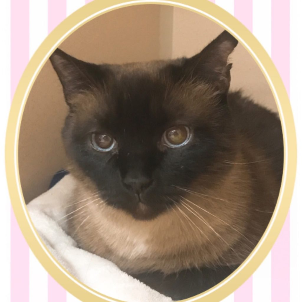 Siamese Cat inside pink and white striped frame